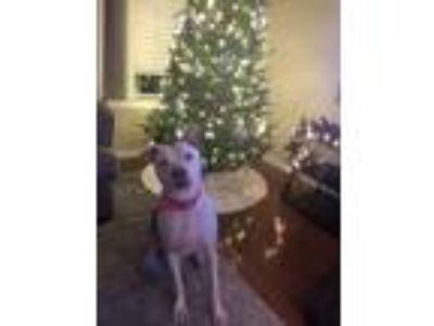 Adopt Penny a White - with Brown or Chocolate American Pit Bull Terrier dog in