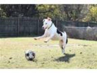 Adopt Moo a Bull Terrier