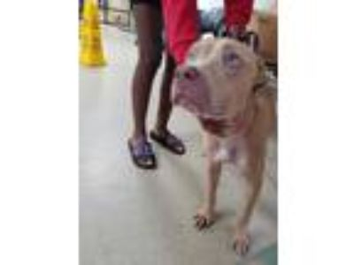 Adopt Sapphire a Tan/Yellow/Fawn American Pit Bull Terrier / Mixed dog in Fort