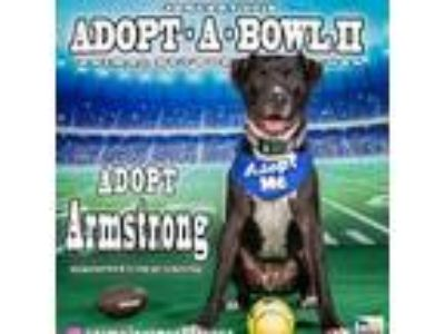 Adopt ARMSTRONG a Black - with White American Pit Bull Terrier / Mixed dog in
