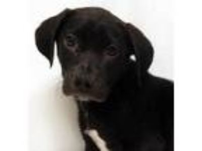 Adopt Morina a Black Labrador Retriever / Mixed dog in Morton Grove