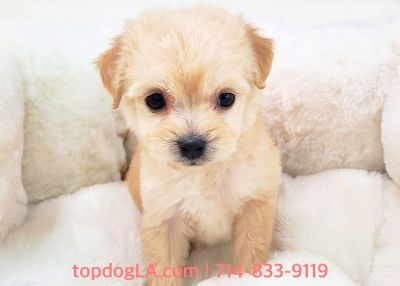 Maltipoo Puppy - Female - Sally ($1,299)