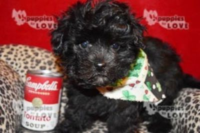 Maltese-Poodle (Toy) Mix PUPPY FOR SALE ADN-113890 - FIRST GENERATION MALTIPOO