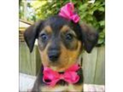 Adopt Ashley Puppy - Available June 2nd a Shepherd, Mixed Breed