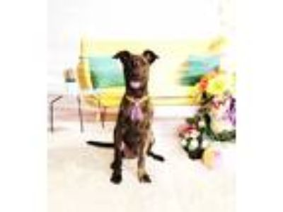 Adopt Fontus a Brindle Labrador Retriever / Mixed dog in Castro Valley