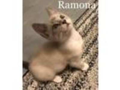 Adopt Ramona a Siamese, Domestic Short Hair