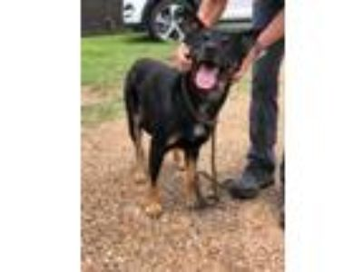 Adopt F19 466 Jack a Black German Shepherd Dog / Mixed dog in La Grange