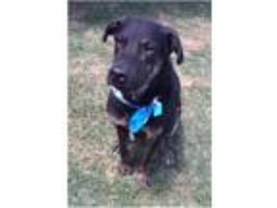 Adopt Wyatt a Black - with Tan, Yellow or Fawn Shepherd (Unknown Type) / Mixed
