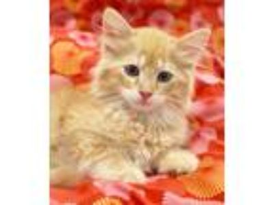 Adopt Chandler a Orange or Red (Mostly) Domestic Longhair (long coat) cat in