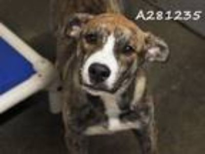 Adopt GIANT a Pit Bull Terrier, Mixed Breed