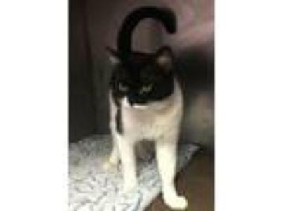 Adopt Eartha Kitty a Black & White or Tuxedo Domestic Shorthair (short coat) cat