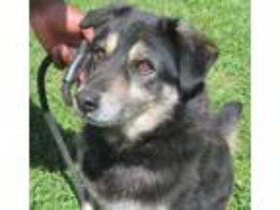 Adopt Crow a Black - with Tan, Yellow or Fawn Shepherd (Unknown Type) / Terrier