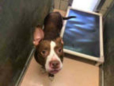 Adopt CHAMP a Brown/Chocolate - with White American Pit Bull Terrier / Mixed dog