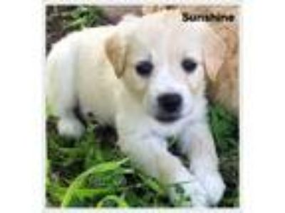 Adopt Sunshine a Tan/Yellow/Fawn Collie / Mixed dog in Saddle Brook