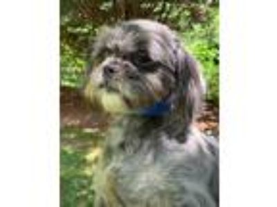 Adopt Stormy a Black - with White Shih Tzu / Terrier (Unknown Type