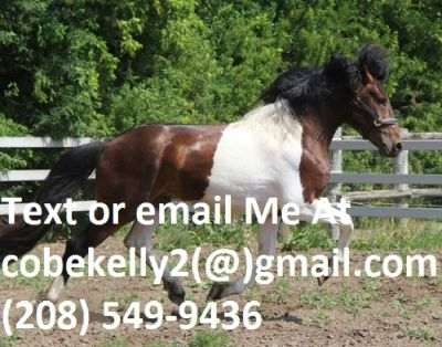 2012 Pinto Friesian/Warmblood Stallion**$3,000 USD**