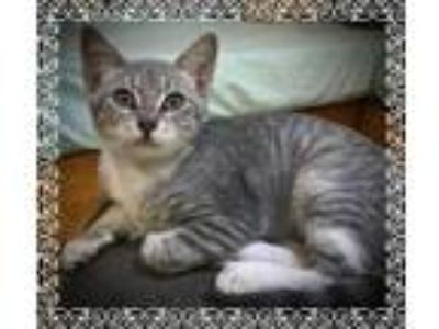 Adopt Lady a Gray, Blue or Silver Tabby Domestic Shorthair (short coat) cat in
