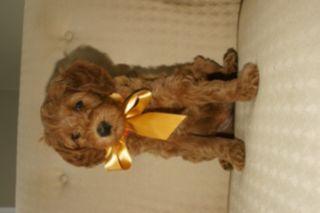 Australian Labradoodle PUPPY FOR SALE ADN-52024 - Australian Labradoodle  All Puppies Adopted