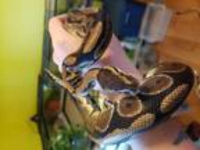 Adopt Lewis a Snake reptile, amphibian, and/or fish in Aurora, IL (25308543)