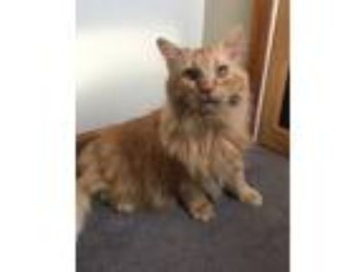 Adopt Mufasa a Orange or Red Maine Coon (long coat) cat in Plainville