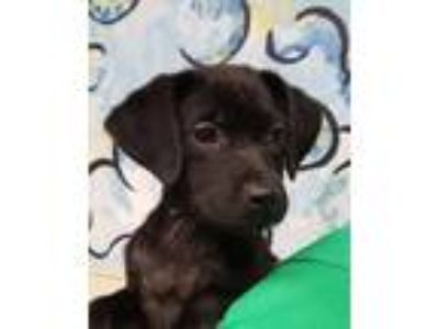 Adopt Flavor Flav a Black Beagle / Labrador Retriever / Mixed dog in Grayslake