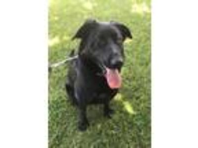 Adopt SOPHIE OS a Black Labrador Retriever / Mixed dog in Chico, CA (25490244)