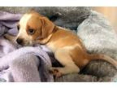 Adopt King a Tan/Yellow/Fawn - with White Beagle / Labrador Retriever / Mixed