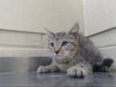 Adopt a Brown Tabby Domestic Shorthair / Mixed (short coat) cat in Orlando