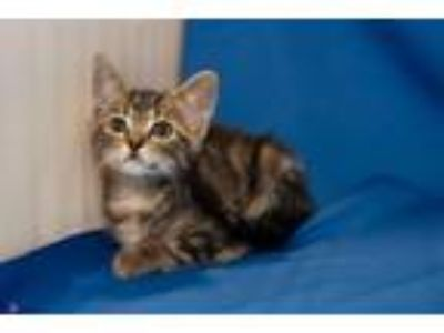 Adopt Sasha (kitten) a Brown Tabby Domestic Shorthair / Mixed (short coat) cat