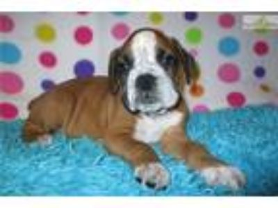 AKC registered male Boxer puppy (Diego)