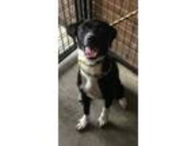 Adopt Sadie a Labrador Retriever / Collie / Mixed dog in Birmingham
