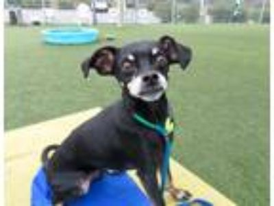 Adopt Ricky a Black - with White Miniature Pinscher / Pug / Mixed dog in Beverly