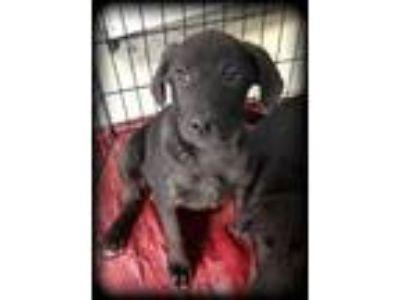 Adopt Fuzzle Puppies - Abigail a Newfoundland Dog, Labrador Retriever