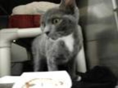 Adopt Swisher a Gray or Blue Domestic Shorthair / Domestic Shorthair / Mixed cat
