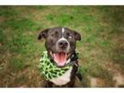 Adopt Juniper a Border Collie, Pit Bull Terrier