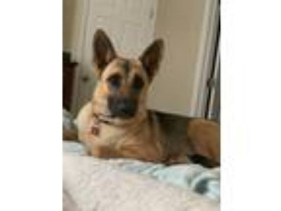 Adopt Roma a Black - with Tan, Yellow or Fawn German Shepherd Dog / Mixed dog in