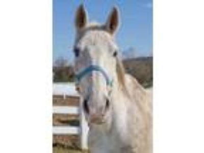 Adopt Freckles a Gray Thoroughbred / Thoroughbred / Mixed horse in Danville
