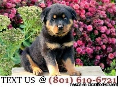 Respectful Registered Rottweiler Puppies Available