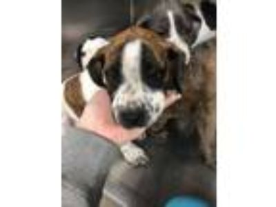 Adopt Skittles a Brindle Boxer / Mixed dog in Philadelphia, PA (25582849)