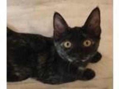 Adopt Trixie a Oriental Short Hair, Tortoiseshell