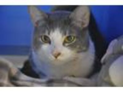 Adopt Marco and Polo a Domestic Short Hair