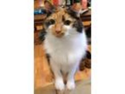 Adopt Alice a Tortoiseshell Domestic Mediumhair / Mixed cat in Cary