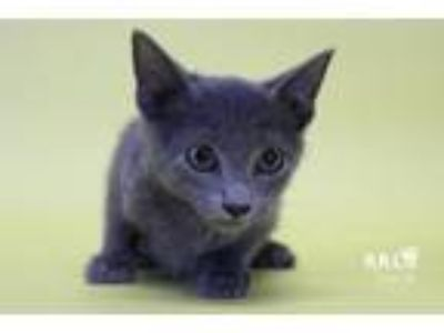 Adopt Triscuit a Domestic Short Hair, Manx