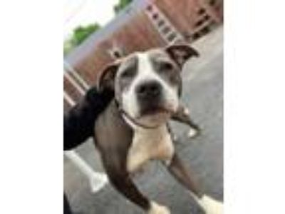Adopt Brooklyn a Pit Bull Terrier, Mixed Breed