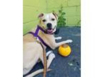 Adopt Samantha a Boxer, Pit Bull Terrier