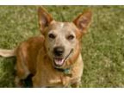 Adopt Butter Bean a Australian Cattle Dog / Blue Heeler