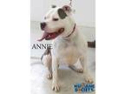 Adopt Annie a White American Pit Bull Terrier / Mixed dog in Grand Island