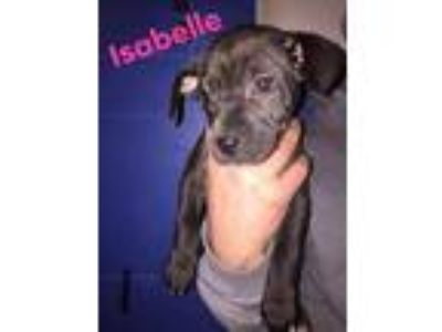 Adopt Isabelle a Hound (Unknown Type) / Mixed dog in Laingsburg, MI (25319150)