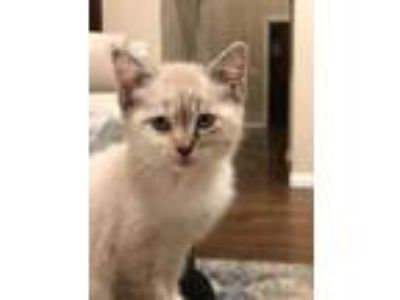 Adopt Moana a Tan or Fawn Siamese / Domestic Shorthair / Mixed cat in Heber