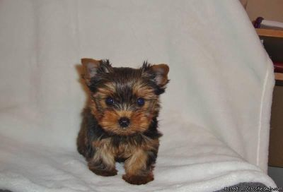 Jovial Yorkie Puppies For Sale